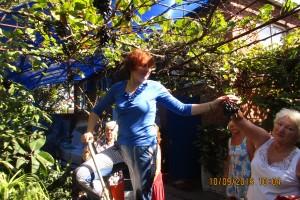 Сбор урожая винограда
